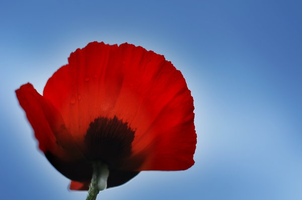 flower - poppy: wild flowers