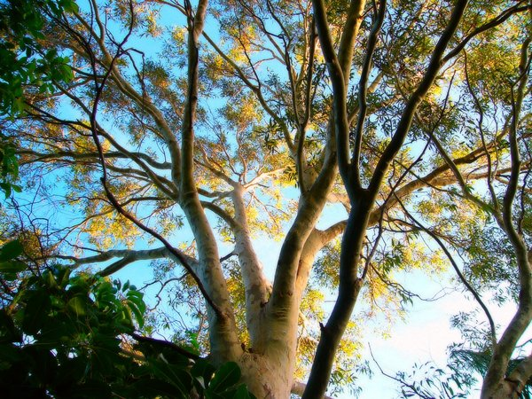 Sun on Gum Tree: Light dappling a large eucalypt just before sundown.