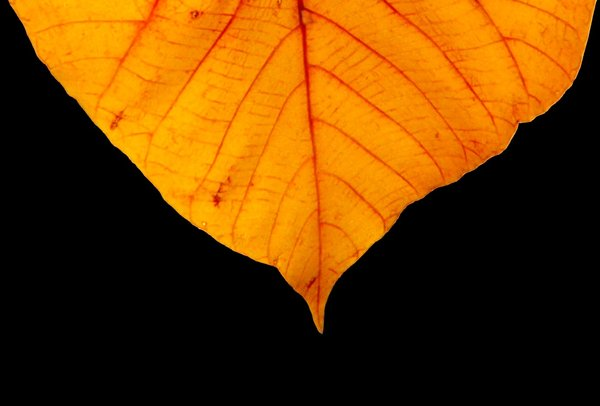 Autumn Leaf: A golden leaf against a black background.