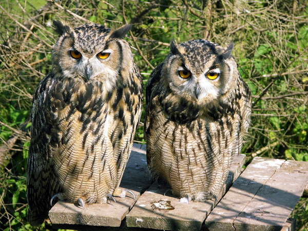 animals from wild garden: two owls