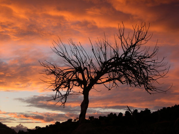 dead olive: dead olive tree sunset