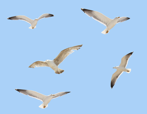 Seagulls in flight: Five Seagulls on a neutral blue background for easy masking.