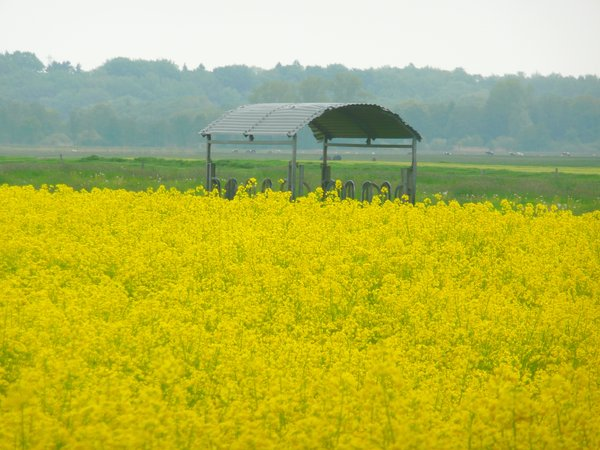 Rape 1: Bloomy yellow rape