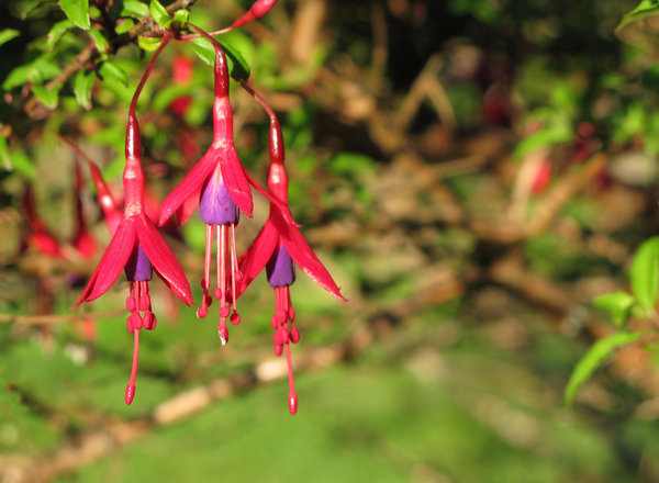 Free stock photos rgbstock free stock images fuchsia flowers fuchsia flowers mightylinksfo