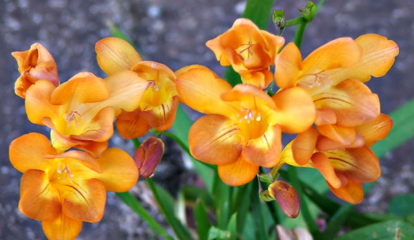 freesia gold: colourful and very strongly scented freesia - both a garden plant and a competing bushland weed (in Australia)