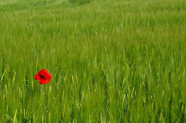 Single Poppy in a field: A single red Poppy flower in a field.