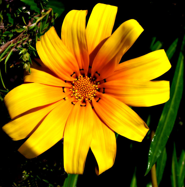 stitched up: the painted-like colourful appearance of gazanias giving the appearance of petals stitched together