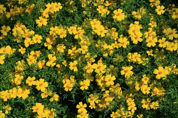 Yellow flowers: A carpet of yellow (Tagetes?) flowers in a garden in England.