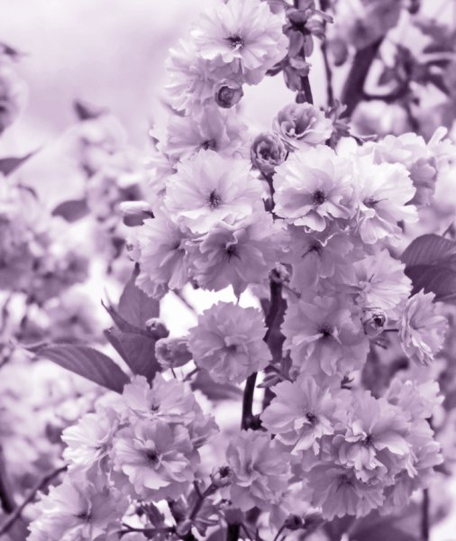 Cherry Blossom Duotone: Japanese flowering cherry tree macro. Purple duotone.