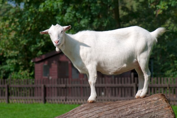 White goat: white goat in petting farm