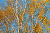 Birch trees autumn