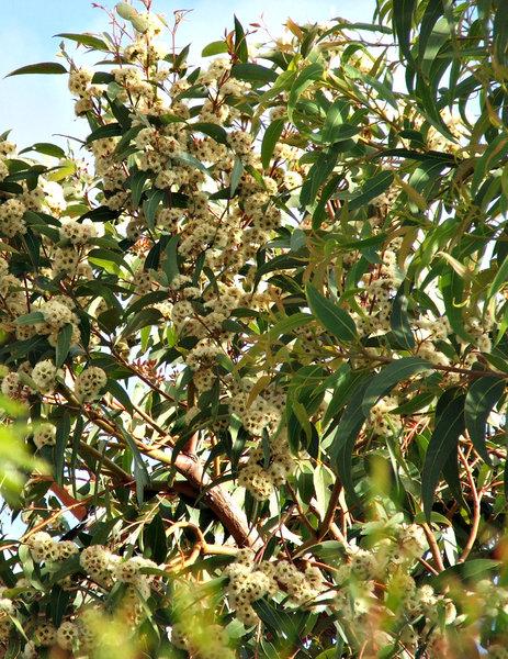 Free stock photos rgbstock free stock images white gum tree white gum tree blossoms mightylinksfo