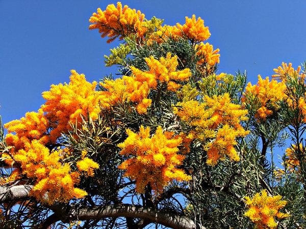 Australian Christmas Tree: Western Australian Christmas Tree In Flower    Nuytsia Floribunda