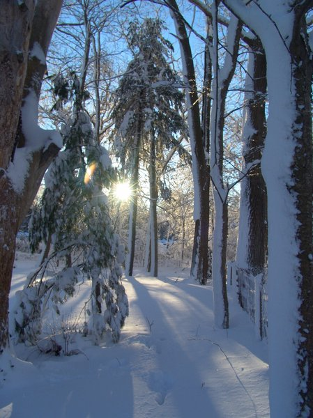 Snowy Sunburst Dawn: Sunburst of dawn breaking through snow covered pine and oak trees after blizzard the day before, peaceful beauty.