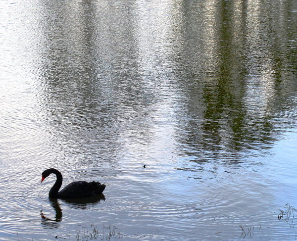 Water with Black Swan: Reflections on flood waters with a black swan in one corner.