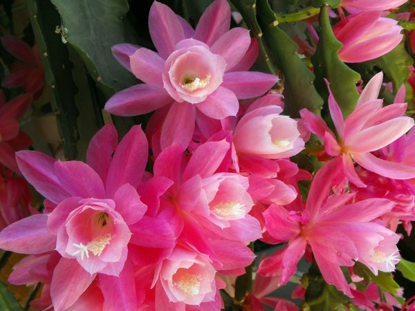 Pink Flowers: These are the beautiful pink flowers from a succulent plant that is managing to survive despite being in a pot with very little soil.