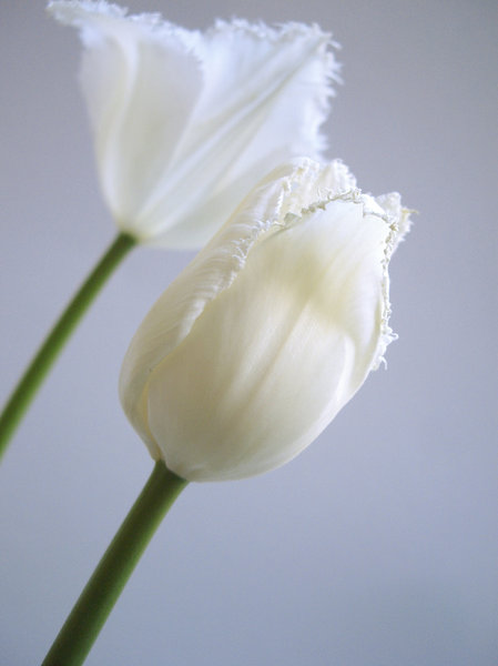 white tulip 3: white tulip on white background