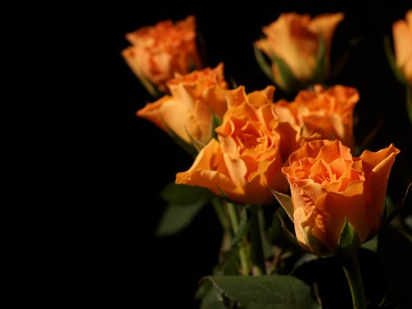Orange roses: Orange rose and roses with black background