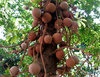 cannon ball tree fruit