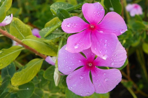 Flower after rain: Flowers in my garden after the rain