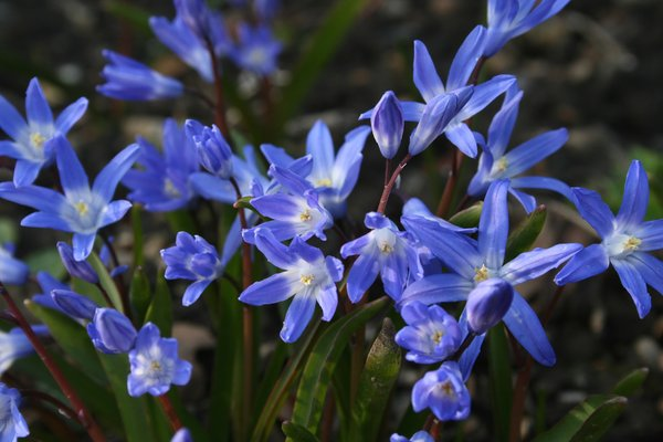 Free stock photos rgbstock free stock images chionodoxa chionodoxa flowers mightylinksfo