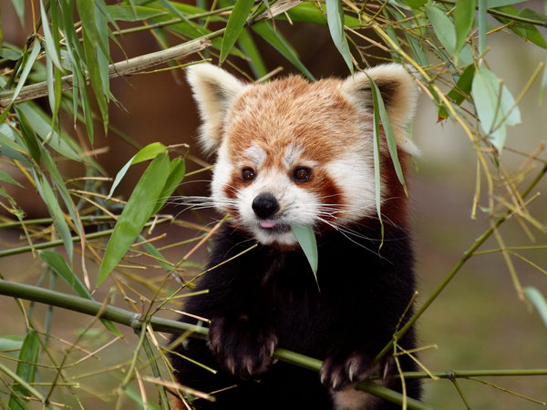 Red Panda: Red Panda at Planckendael, Belgium.