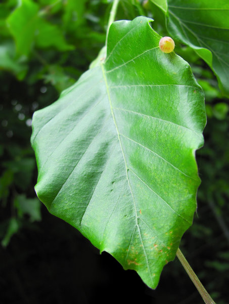 Leaf: beech leaf with yellow gall