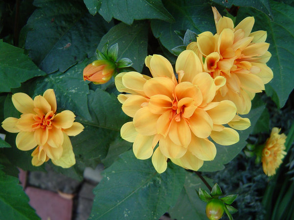 Chrysanthemum: yellow chrysanthemum flowers