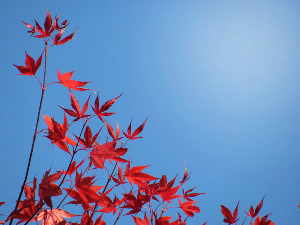 red leaves: red maple leaves against blue sky