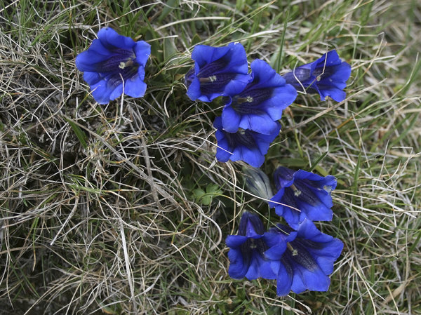 Trumpet gentians: Trumpet gentians growing high in the mountains near Innsbruck, Austria.