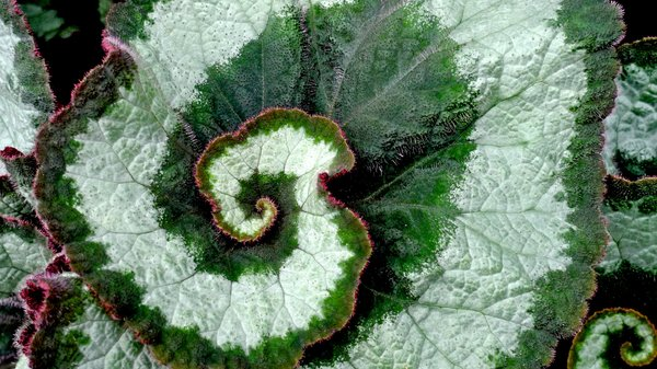 Mandelbrot Leaf: A leaf looking ever so like one of Mandelbrot's fractal sets
