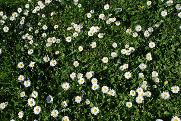 Free stock photos rgbstock free stock images daisies for Grass like flowering plants