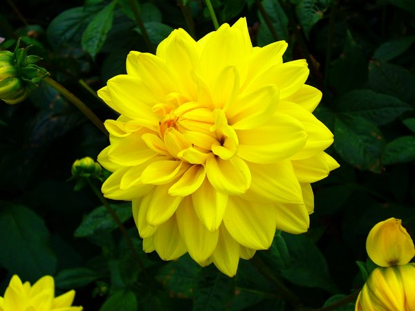 Free stock photos rgbstock free stock images bright yellow bright yellow dahlia i took this picture for the vibrancy of the yellow and its mightylinksfo