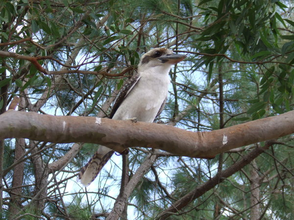 Kookaburra: Kookaburra in a tree