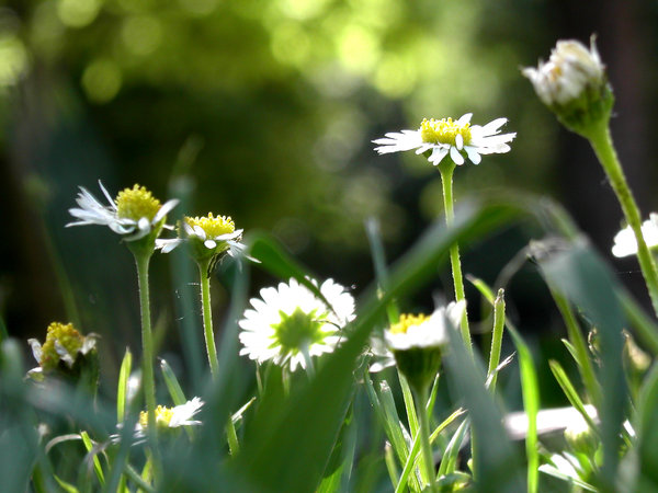 Daisyflowers 2: summer is coming to the parc and the daisies are poppin' out