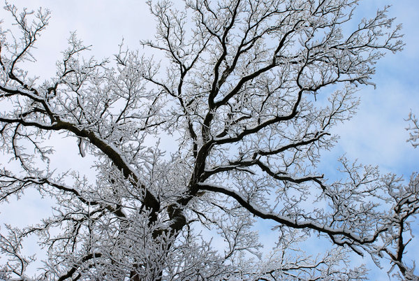 snowy branches: snowy branches