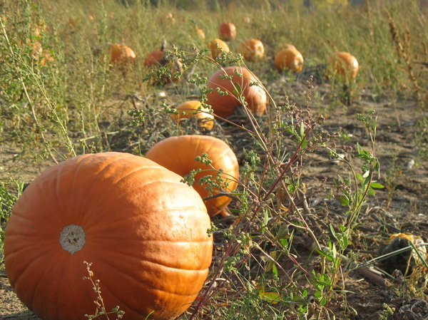 Pumpkin Patch: Pumpkin patch in Hudsonville, Michigan, USA.