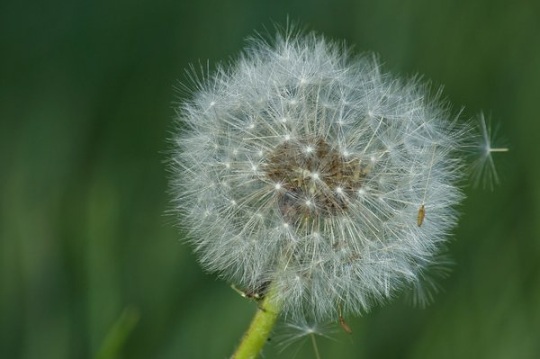 Dandelion clock: beautiful ball of dandelion