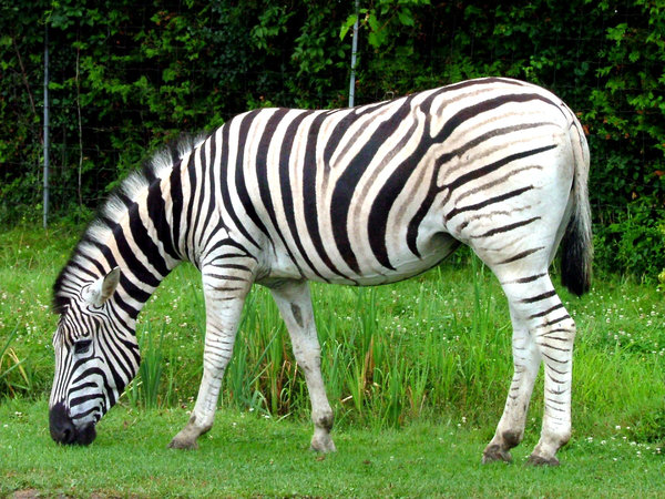 Zebra: A zebra eating green grass.