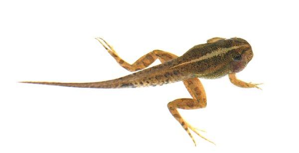 tadpole: no description
