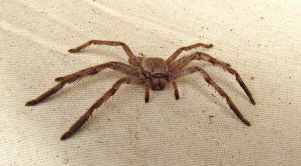 the eyes have it: Australian huntsman spider