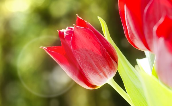 Tulip in sunlight: red tulip in sunlight