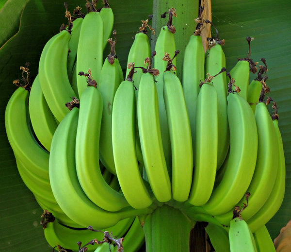 harvesting banana Banana basics based on a 2007 california rare fruit growers' festival of fruit presentation introduction good afternoon after harvest the banana plant only flowers once and then it dies i leave the old plant as long is it has green leaves.