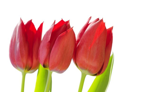 Three red tulips: three red tulips on white background
