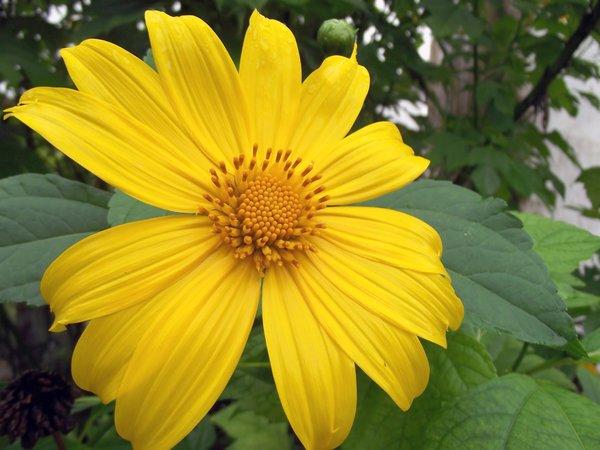 Free stock photos rgbstock free stock images yellow flower yellow flower a yellow flower called mightylinksfo