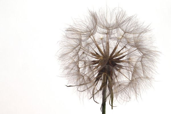 Dandelion seed: Dandelion (Taraxacum) seeds with white background.