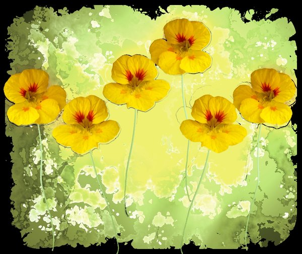 Nasturtium Abstract 1: An abstract, arty image of nasturtiums in yellow and green colours against a black background.