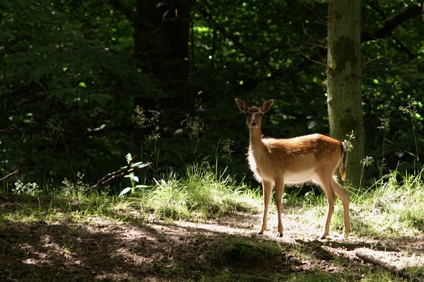 Deer in sunlight: Young deer caught in sunrays in the forest.