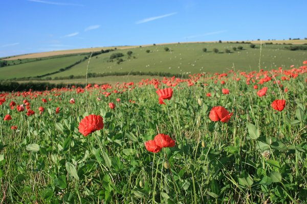 Poppy field: Poppies (Papaver) growing on a hillside in West Sussex, England.