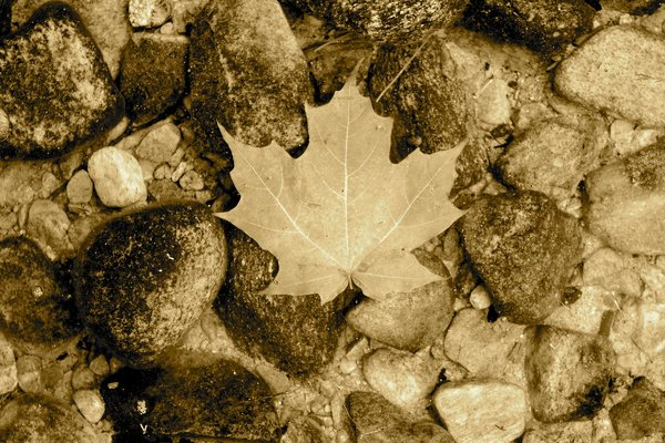 Vintage Maple Leaf 1: Maple Leaf Old Look